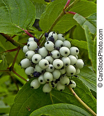 Bush with white berries