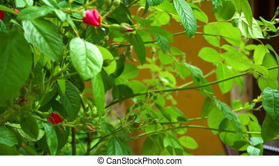 Bush with wild red roses in the garden in summer