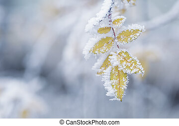 bush yellow leaves covered with rime