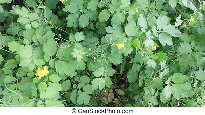 Bushes and flowers celandine - Creeping shrubs of a...