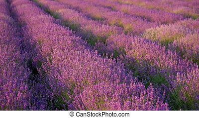 Bushes blooming lavender