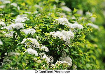white spiraea - bushes blooming white spiraea in  garden