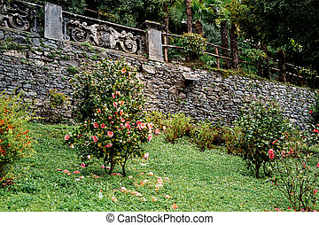 Bushes of camellia flowers with fallen petals on the grass near a stone fence against a background of trees.