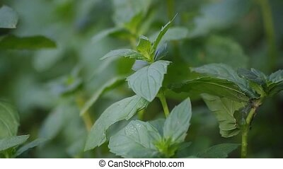 Bushes of fragrant mint - Fresh mint falls under water with...