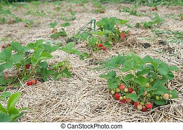 Bushes of fresh organic strawberries