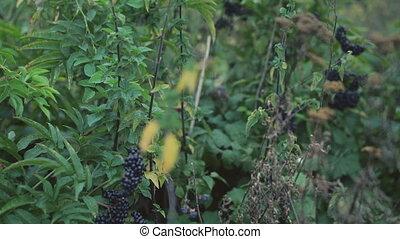 Bushes of wild blackberry in 4K