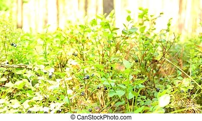 Bushes of wild blueberries. Berries. 93 - Bushes of wild...
