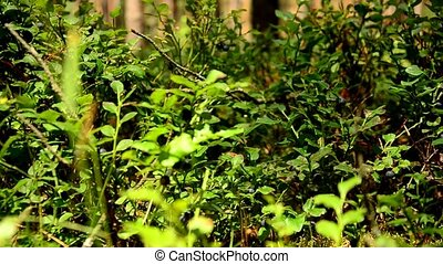 Bushes of wild blueberries. Berries. 94 - Bushes of wild...