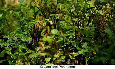 Bushes of wild blueberries. Berries. 95 - Bushes of wild...