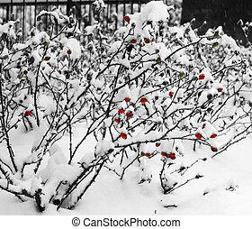Bushes rose hip under the snow.