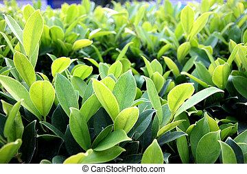 bushes., zöld