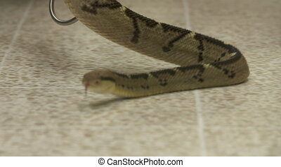 Bushmaster Snake Crawling on Floor, Costa Rica Zoo