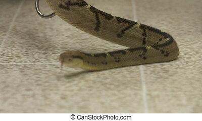 Bushmaster Snake Crawling on Floor, Costa Rica Zoo -...
