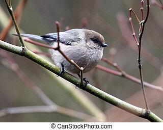 Bushtit Perched on a Branch