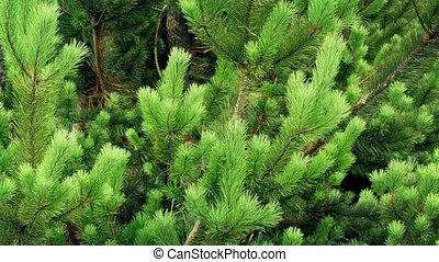 Bushy Green Fir Tree - Vibrant healthy pine on a nice day