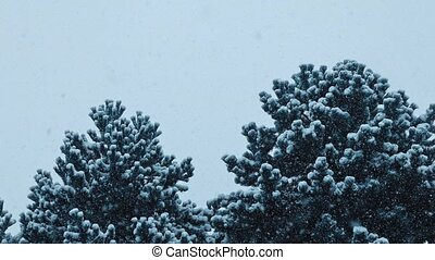 Bushy Trees In Blizzard - Large bushy pine trees in heavy...