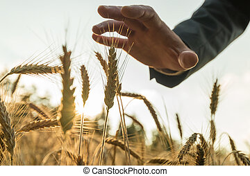 Businessman holding his hand above ear of wheat