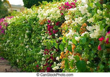 buskar, blomstrande