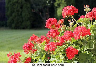 buskar, geranium