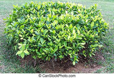 buske, grön