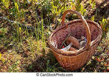 Busket with wild mushrooms in the forest.