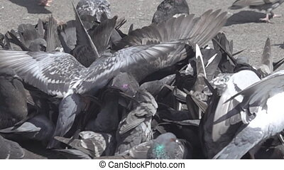 Bustle hustle and bustle among city pigeons are gregarious birds. Super slow motion 1000 fps