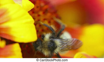 Busy bee - Bee collecting nectar. Close-up