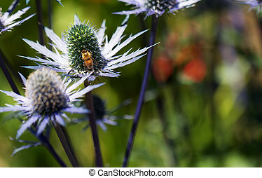 Busy bee on Eryngium - Busy golden been on green pistil of...