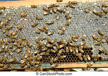 Busy farmed worker bees on honeycomb panel