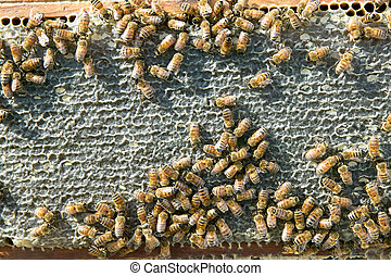 Busy worker bees on honeycomb panel on bee farm
