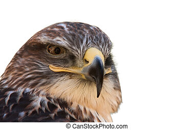 """Buteo jamaicensis - a portrait of a """"Red-tailed Hawk"""" (a ..."""