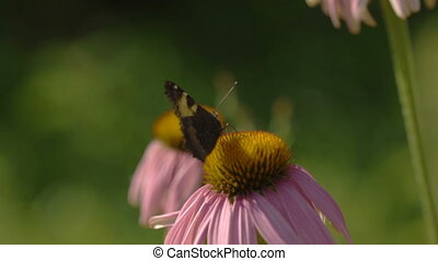 Buterfly on a Echinacea flower