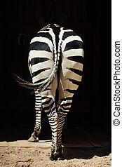 butt, zebra