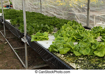 butter head, cultivation hydroponics green vegetable in farm