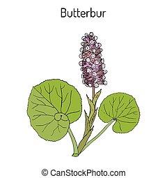 Butterbur Petasites hybridus , or bog rhubarb, Devil s hat, pestilence wort, medicinal plant. Hand drawn botanical vector illustration