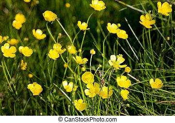A yellow flower background of buttercup - Latin: Ranunculus bulbosus