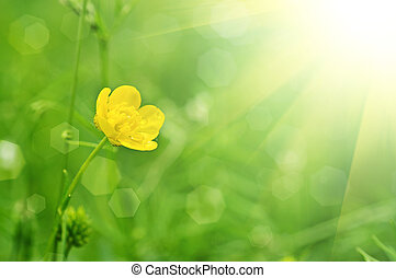 Buttercup flower - Buttercup yellow flower on the green ...