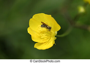 Buttercup flowers and Bee