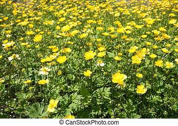 Field of buttercup flowers blooming