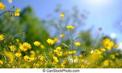 Buttercup flowers in a field waving gently in a breeze....