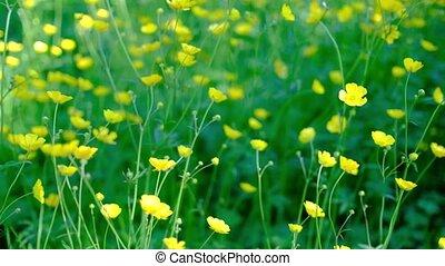 Buttercup flowers in a field waving gently in a breeze....