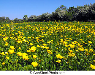 Buttercup meadow, South Wales, UK