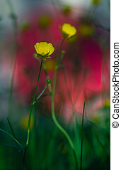 Buttercup on vibrant background