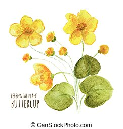 Buttercup perennial flower on white background. Watercolor...