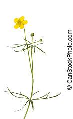 buttercup - single flower buttercup (Ranunculus arvensis) on...