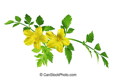 Single yellow buttercup flower isolated on white