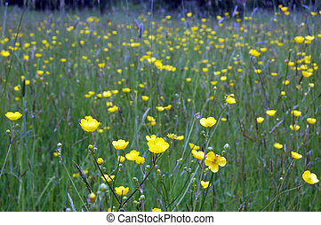 Bright yellow buttercup flowers blooming in a grass meadowland. Focus on the foreground flowers.
