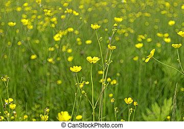 Buttercups Ferns Close Distant View
