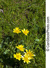 buttercups in a lush green garden lawn