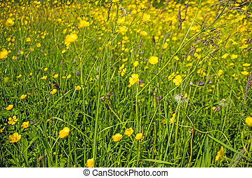 buttercups in a meadow